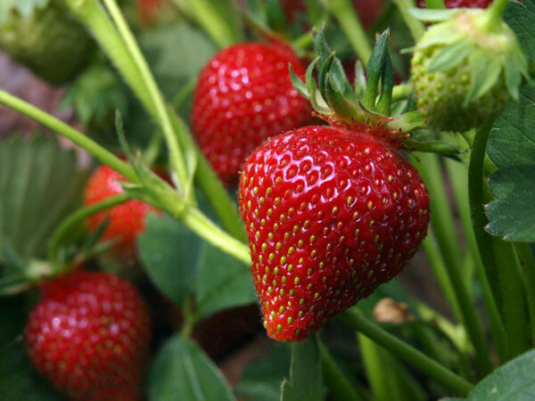 Edibles Strawberries