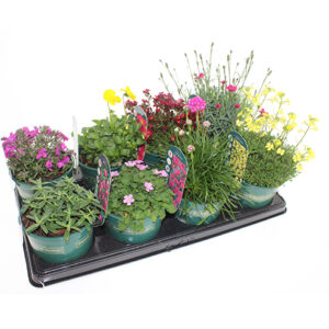 Bright Colours Collection Alpines