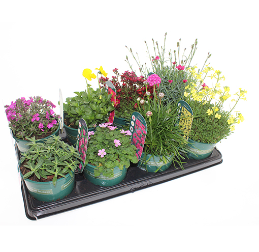 bright-colours-collection-alpines