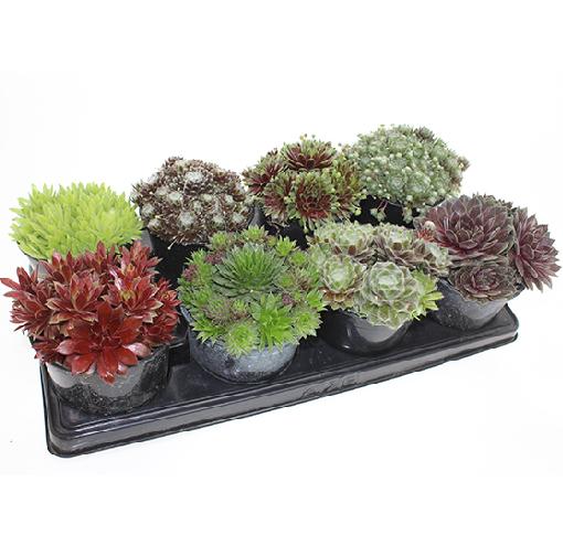 sempervivum-collection-alpines