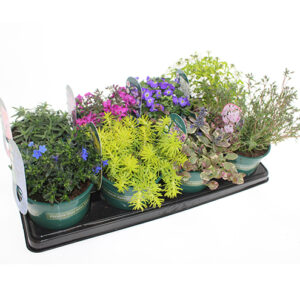 Trailing Collection Alpines