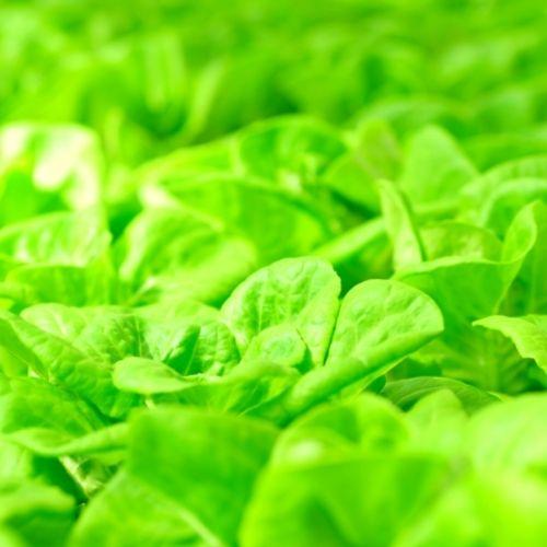 Image Butterhead Lettuce