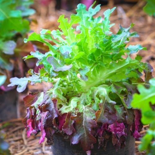 Image Oak Lettuce
